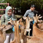 Timorensis Deer is also known as a Javan Deer in most parts of the world.