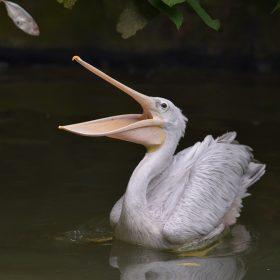 Pelican | Langkawi WildLife Park