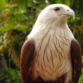 Brahminy Kite | Langkawi WildLife Park