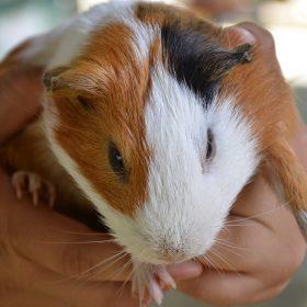 Guinea Pig | Langkawi WildLife Park