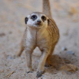 Meerkat | Langkawi WildLife Park