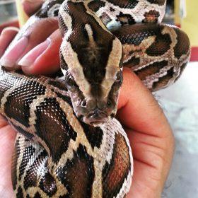 Burmese Python | Langkawi WildLife Park