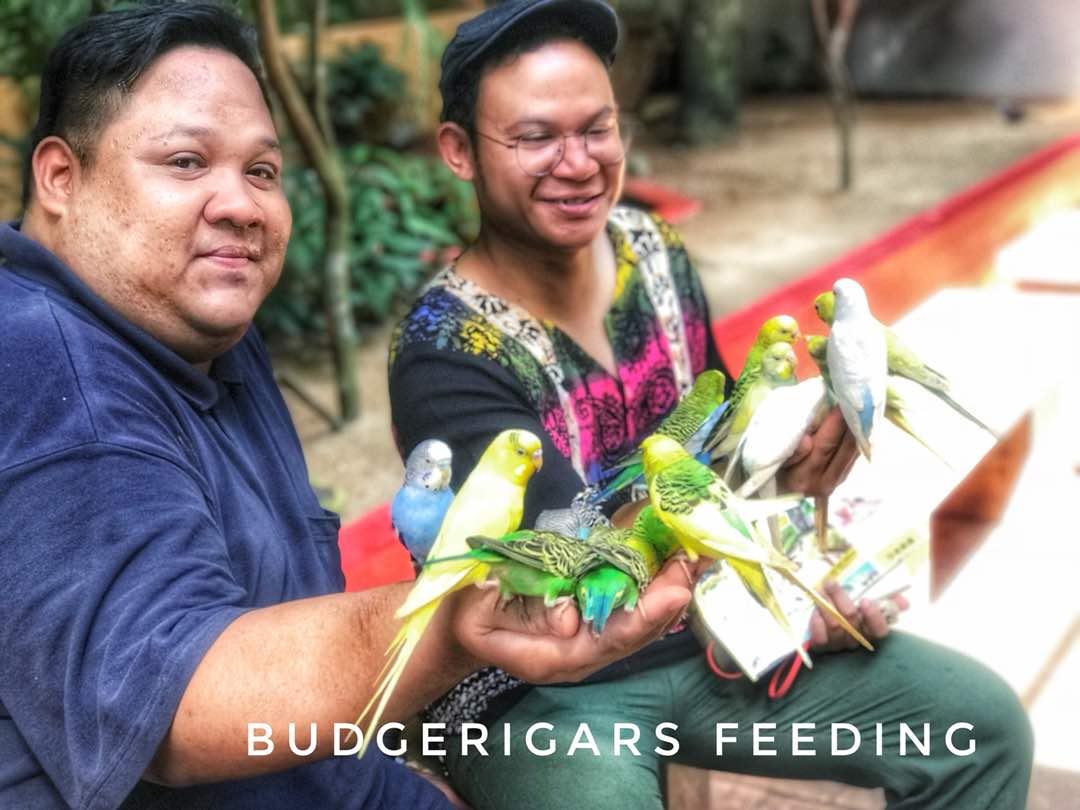 Budgerigars   Langkawi Wildlife Park