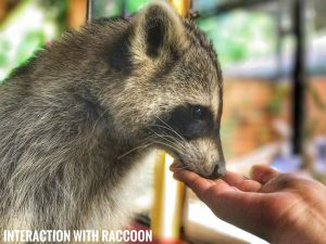 Interaction with Raccoons | Langkawi Wildlife Park