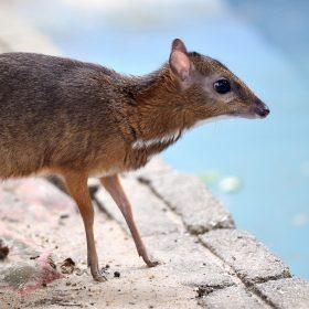 Mousedeer | Langkawi WildLife Park