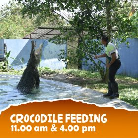 Crocodile Feeding | Langkawi WildLife Park