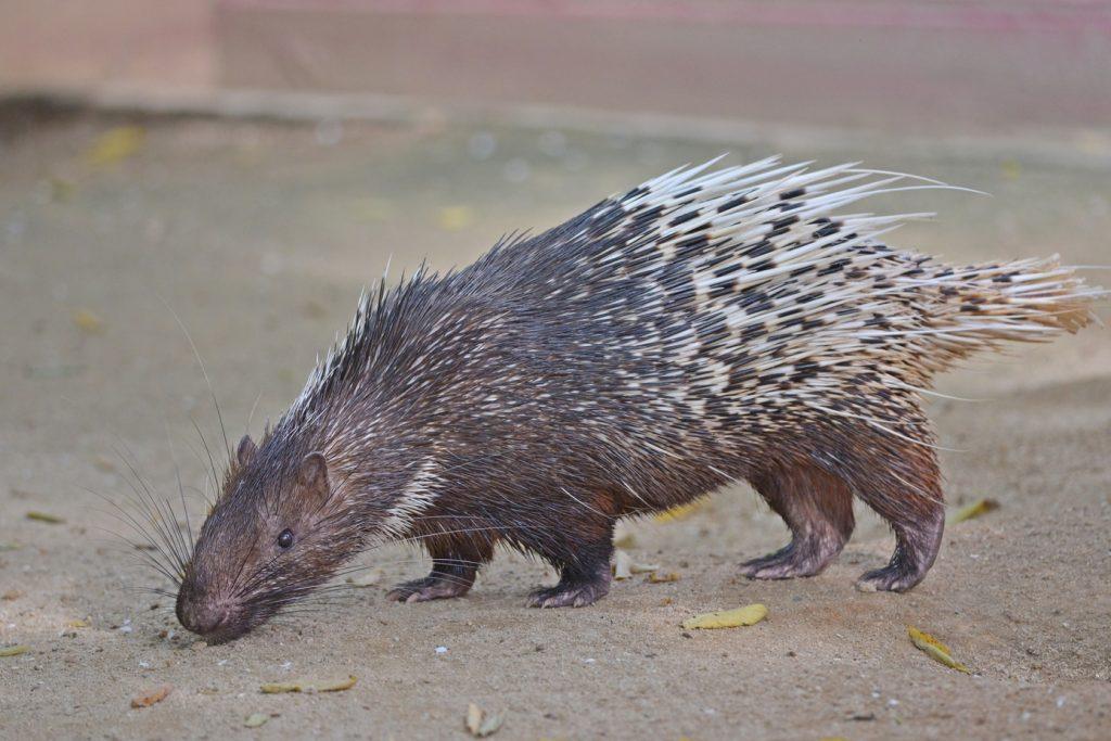 Porcupine | Langkawi Wildlife Park