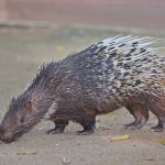 Do Malayan Porcupine really shoot their quills under threats?