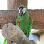 Chestnut-fronted macaws are mini macaws with big brains and intelligent.