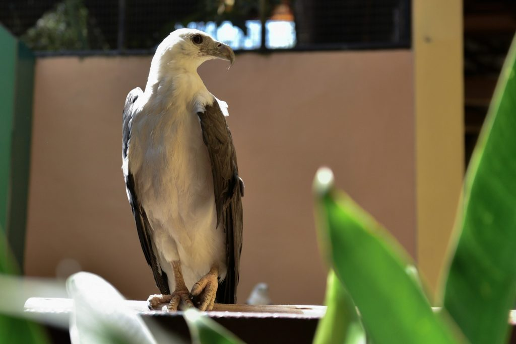 White Bellied Sea Eagle | Langkawi Wildlife Park