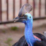 Cassowaries are deadliest and dangerous birds in the world.