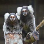 Marmoset are small New World Monkeys?
