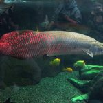 Arapaima is the largest freshwater fish.