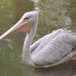 Pink-backed Pelican are among the smallest of pelican species in the world.