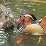 Did you know Male and Female Mandarin Ducks look different from each other?