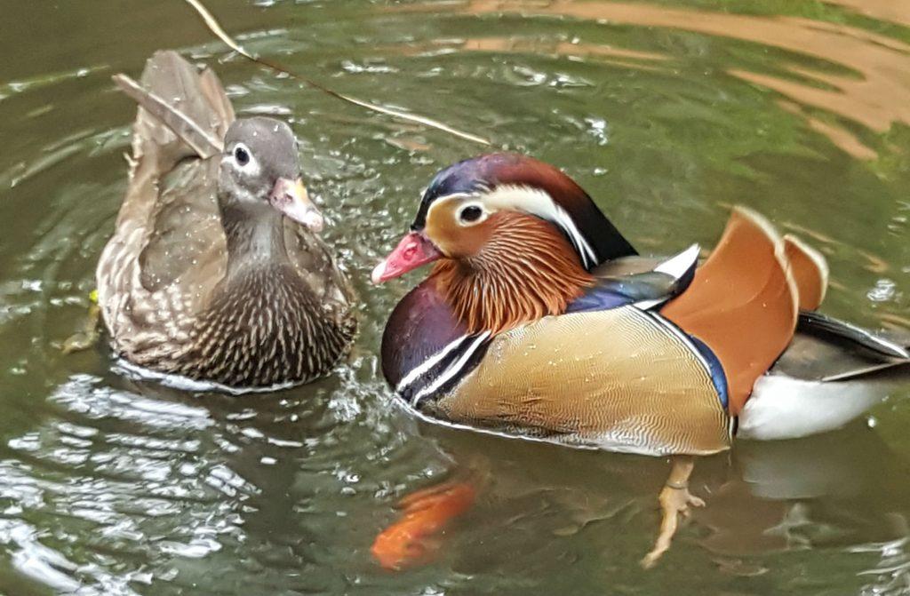 Mandarin Duck | Langkawi Wildlife Park