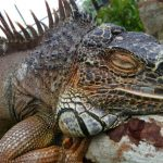 Green iguanas have third eyes on their top head.