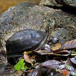 Malayan Box Turtles aka Amboina Box Turles.