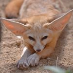 Why do Fennec Foxes have long ears?