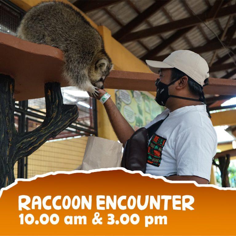 Raccoon-3 copy