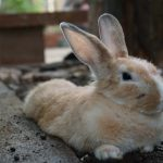 Domesticated Rabbits are born with their eyes shut
