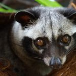 Musky odor of Asian Palm Civet is very distinguishable
